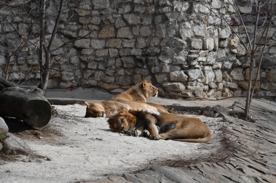 """В зоопарке у львов два """"племени"""": белые и обычного окраса шерсти"""